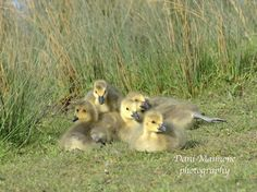 Canada Geese goslings spotted at Burpham Nature Reserve in Spring 2016. #Cute