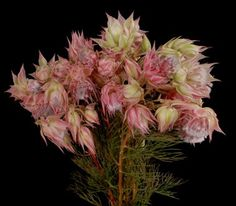 Protea Serruria (Blushing Bride)  pack of 10 for 22.00  amazon flower wholesale