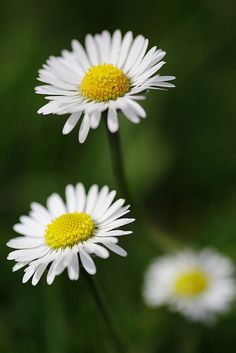 Bellis perennis - Daisy by johnlgardiner