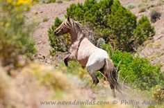 A beautiful wild bachelor stallion. #NevadaWilds wild horses