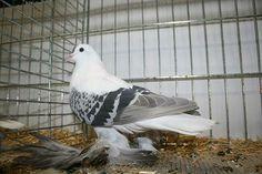 Saxon Fairy Swallow Pigeon