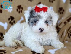 Gretchen | Maltipoo Puppy For Sale | Keystone Puppies  #Maltipoo #KeystonePuppies