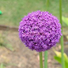 10 Seeds Purple Giant Allium Giganteum Plant Flowers Perennials Outdoor Bonsai for sale online Allium Flowers, Bulb Flowers, Flowers Perennials, Dried Flowers, Planting Flowers, Rare Flowers, Beautiful Flowers, Purple Flowers, Red Lily Flower