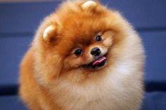 A little cute Pomeranian.