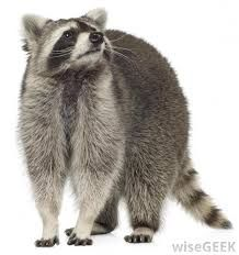 raccoon - Pesquisa Google