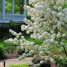 The Chinese snowball viburnum has a lot going for it -- virtually no insect or disease pressures, 12-foot height, spectacular glistening white blossoms and cut flowers by the buckets. This makes this heirloom from China an absolute winner and a must-have plant in zone 6-9 gardens.