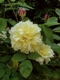 ~Noisette Rose: Rosa 'Céline Forestier' (France, 1842)