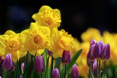 Yellow Daffodils against purple tulips. Learn how to grow daffodils for maximum enjoyment.