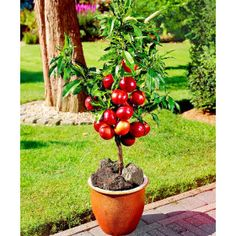 You don't need a big garden to grow fruits. Container gardening fruit are surprisingly easy to grow, tasty and produce huge harvests of fresh tasty fruits for you and your family. Discover the 15 best container fruits to grow in your garden today. Dwarf Fruit Trees, Fruit Plants, Fruit Garden, Vegetable Garden, Berry Plants, Types Of Fruit, Fruit And Veg, Potted Trees, Potted Plants