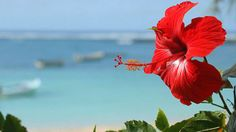 La flor nacional de Puerto Rico es la Flor de Maga, no la amapola. Pero la amapola es una de nuestras flores mas hernosas y nos representa tambien.