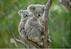 The San Diego Zoo's koala colony continues to thrive at Conrad Prebys Australian Outback, where 13 males and 8 females currently live. The most recent addition, a feisty young male, emerged from Cambee's pouch in early July Cute Wild Animals, Cute Funny Animals, Animals And Pets, Baby Animals, Animals Photos, Koala Baby, Reptiles, Mammals, Koalas