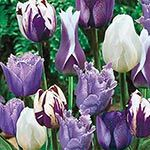 Blue Heaven Tulip Medley