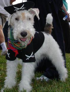 puppy pirate boy! #wire fox terrier