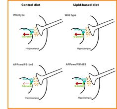 Lipid-based diets effectively combat Alzheimer's in mouse model - http://scienceblog.com/482861/lipid-based-diets-effectively-combat-alzheimers-in-mouse-model/