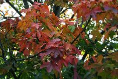Vaher / Acer platanoides Norway maple by Minest Acer, Trees To Plant, Norway, Flowers, Plants, Tree Planting, Plant, Royal Icing Flowers, Flower