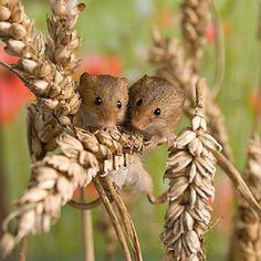 Harvest mice....