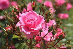 Jayshon Peacock - rose wallpaper: images, walls, pics - 2048x1393 px