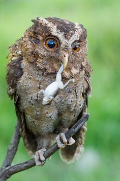 """Owl: """"Frog's legs will be served for lunch today."""""""
