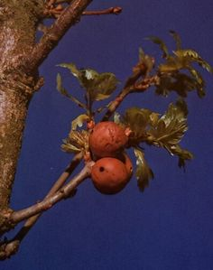 Oak galls used to make Iron gall ink.
