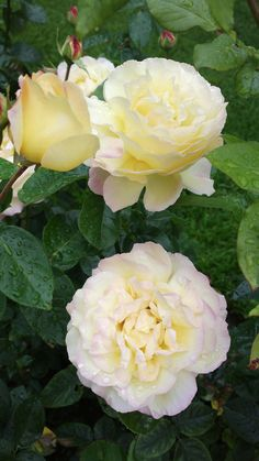 'Peace' | Hybrid Tea Rose. Francis Meilland (France, 1935) | Flickr - © KamalaKala