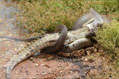 quand un python avale un crocodile. C'est le combat qu' immortalisé l'Australienne Tiffany Corlis près du lac Moondarra, dans le Queensland, en Australie