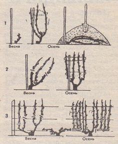 Обрезка винограда для начинающих садоводов | Дача - впрок