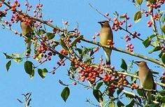 Best Plants and Trees for Birds (Cornell Ornithology) - Mulberries, Serviceberries, Flowering dogwood, Crabapples, White oak, Eastern red cedar, Spruces, Northern bayberry, Staghorn sumac, Red-osier dogwood, gray dogwood, Nannyberry, arrowwood, and Winterberry (holly).