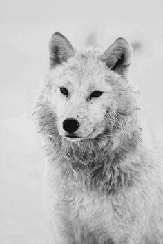 B/W portrait of a wolf