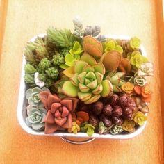多肉植物のお花畑(3月下旬販売予定)