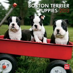 Boston Terrier Puppies Wall Calendar: The wide-eyed Boston Terrier Puppies in this wall calendar will grow up to be affectionate, boisterous dogs. Boston Terriers may be small, but they're packed with personality.  http://www.calendars.com/Boston-Terriers/Boston-Terrier-Puppies-2013-Wall-Calendar/prod201300004943/?categoryId=cat10055=cat10055