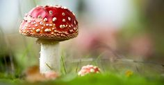 Recently mushroom hunters have been sharing photos of the fly agaric, which has a reputation for strange and dangerous effects when ingested by other living things.