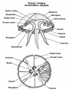 In this image, you will find Phylum Cnidaria Aurelia Moon jellyfish anatomy in it. Jellyfish Tentacles, Jellyfish Facts, Jellyfish Tank, Jellyfish Drawing, Jellyfish Painting, Jellyfish Tattoo, Blue Jellyfish, Jellyfish Aquarium, Medusa