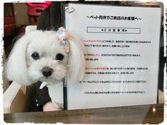 店内OK!昭和記念公園近くの大人カフェ☆|マルチーズ ▽・ェ・▽ りずむといっしょ♪
