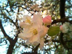 🌳JABLOŇ🌳 ••• Fascinuje mě pozorovat, jak se příroda probouzí. Jak se květy pomalu otevírají 🌸 Naprosto božské je, stát pod rozkvetlým stromem, koukat na nebe skrz všechny květy a poslouchat tu velkou spoustu pilných včelek, čmeláků a dalšího okřídleného hmyzu 😄🐝 Jako v jiném světě 😇🌞 ••• #nature #priroda #kvety #flowers #jaro #spring #bee #vcela #🐝 #mindfulness #vsimavost #sun #slunce #mobilephotography #focenomobilem #czech