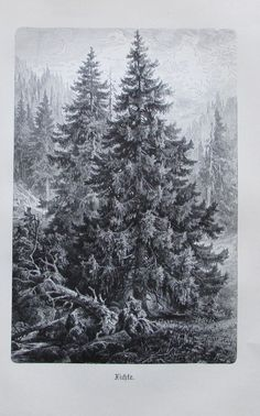 1896 FICHTE alter Druck antique Print Lithographie Baum Bäume