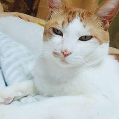 뭔가...꺼져라...같은..눈빛ㅋㅋㅋ  #猫 #고양이 #cat#愛猫#집사 #냥스타그램 #펫스타그램#캣스타그램#ニャンコ#냥이 #ギプスタグラム#기쁨이스타그램#기쁨이#ギプミ#catstagram#catsofinstagram#고양이스타그램#ねこ部#ねこ#ニャンスタグラム#ニャン#にゃー#😺#😻#💖