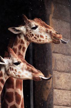 I ❤ giraffe's. . . Rain Drops~ Giraffes catching the raindrops outside their house in the Taronga Zoo exhibit in Sydney,Australia..Photograph ~By Rick Stevens/Copyright
