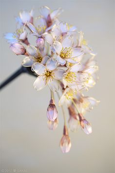 簪作家榮 2012 桜 簪 花霞 Japanese hair accessory -Cherry Blossom Kanzashi- by Sakae, Japan http://sakaefly.exblog.jp/ http://www.flickr.com/photos/sakaefly/