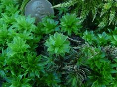 New Moss Gardening Rhodobryum roseum, the rose moss is pictured above center and throughout. Also pictured is Climacium dendroides, the tree moss, upper right, and Atrichum undulatum, wavy or undulate Atrichum, the narrow leafed moss just below and to the right of the center rose moss.