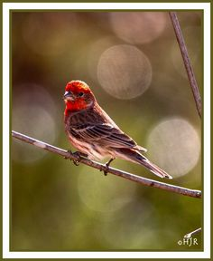 Portraits of Birds - House Finch (M)