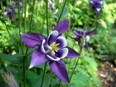 Aquilegia vulgaris - Akelei | Het Groene Paradijs