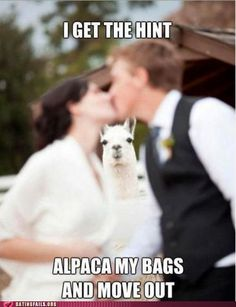 "should I put on my ""llama drama"" board or on my ""wedding do-over"" board....because DAMN that would've been awesome to have a llama at my wedding!"