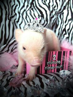 a diva is a female version of a hustler This Little Piggy, Little Pigs, Baby Animals, Cute Animals, Funny Animals, Baby Piglets, Teacup Pigs, Mini Pigs, Cute Piggies