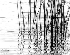 Reeds Black and White Fine Art Photography by BeneathNorthernSkies, $38.00