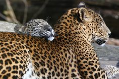 Secret Lanka, your travel agent and tour operator for Sri Lanka and Maldives. Exotic Animals, Exotic Pets, Native American Wolf, Panthera Pardus, Grizzly Bears, Little Island, Cheetahs, Paradise Island, Leopards
