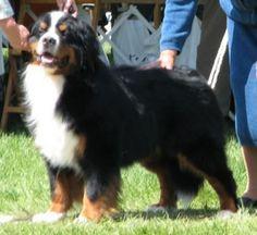 Love Burnese Mountain Dogs!