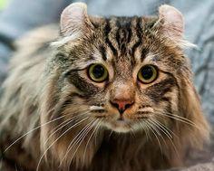15 raças de gatos com características fora do comum | Superinteressante