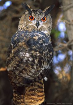 Forest Eagle Owl, Bubo bubo, Native to Eurasia Rehab Animal Owl Photos, Owl Pictures, Beautiful Owl, Animals Beautiful, Owl Bird, Pet Birds, Nocturnal Birds, Wise Owl, Tier Fotos