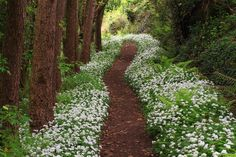 wanderthewood: Footpath and wild garlic (Allium ursinum) - St Blazey, Cornwall, England by crowlem