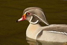 """""""Silver"""" Wood Duck male"""